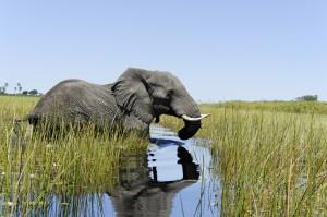 Okavango-deltaet i Botswana. Foto: iStock